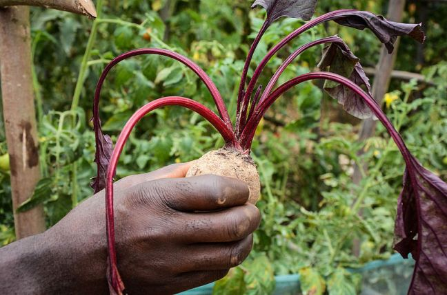 800px-Beetroot._One_of_the_new_crops_in_Mbazzi._01